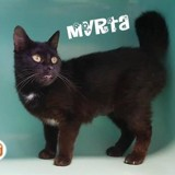 Myrta, Chat europeen à adopter