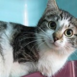 Diamant, Chaton europeen à adopter