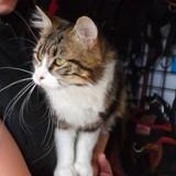 Tenor, Chat europeen à adopter