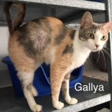Gallya, Chat europeen à adopter