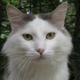 Gendry cha8120, Chat europeen à adopter