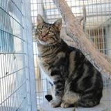 Pulco, Chat europeen à adopter
