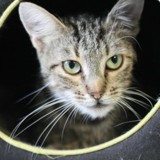 Bella, Chat europeen à adopter