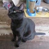 Nestor, Chat europeen à adopter