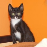 Cigale, Chaton europeen à adopter