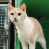 Nectar pab17694, Chat europeen à adopter
