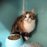 Feline, Chat europeen à adopter