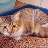 Colomba, Chat europeen à adopter