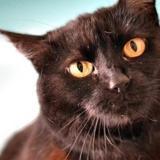 Yuna, Chat europeen à adopter