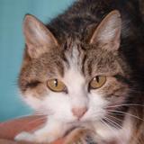 Lutti, Chat europeen à adopter