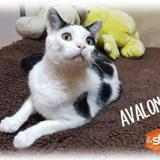 Avalon, Chat europeen à adopter