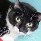 Domino, Chat europeen à adopter