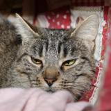 Pouponette a13267, Chat europeen à adopter