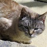 Kalimba, Chat europeen à adopter