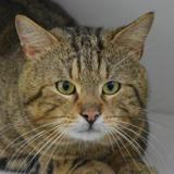 Oliver cha9511, Chat europeen à adopter