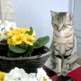 Suzy - en famille d'accueil, Chat europeen à adopter
