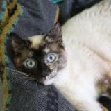 Vanille, Chat europeen à adopter