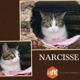 Narcisse, Chat europeen à adopter