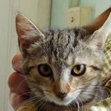Lala, Chat europeen à adopter