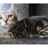 Loupiac c14251, Chaton europeen à adopter