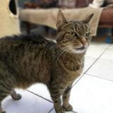 Tigrette, Chat europeen à adopter
