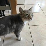 Miss, Chat europeen à adopter