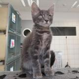 Ulo, Chaton europeen à adopter