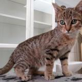 Banjo, Chaton europeen à adopter