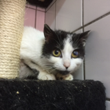 Milady, Chat europeen à adopter