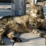 Italic, Chat europeen à adopter