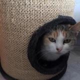 Praline, Chat europeen à adopter