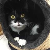 Chaussette, Chat europeen à adopter