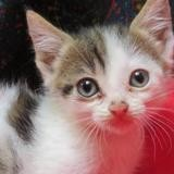 Faustine, Chaton europeen à adopter