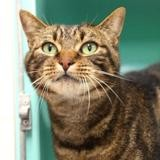 Swallow, Chat europeen à adopter