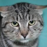 Rodolphe, Chat europeen à adopter