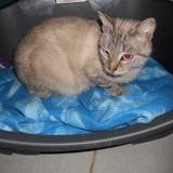 Ina, Chaton europeen à adopter