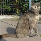 Malia, Chat europeen à adopter