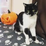 Popeye, Chat europeen à adopter
