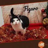 Figaro (réservé), Chat europeen à adopter