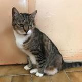 Inoi, Chat europeen à adopter