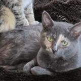 Grisette, Chaton europeen à adopter