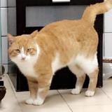 Choubaka, Chat europeen à adopter