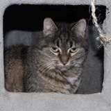 crevette pab19277, Chat europeen à adopter