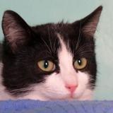 Tamarin, Chat europeen à adopter
