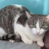 Pisco, Chaton europeen à adopter