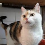 Calinette cha10736, Chat europeen à adopter