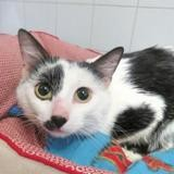 Leon, Chat europeen à adopter