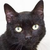 Pedro, Chat europeen à adopter