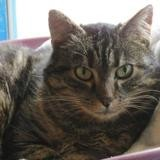 Verone, Chat europeen à adopter