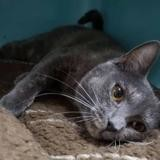 Caline, Chaton europeen à adopter